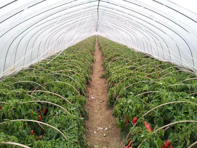 大红椒种植基地